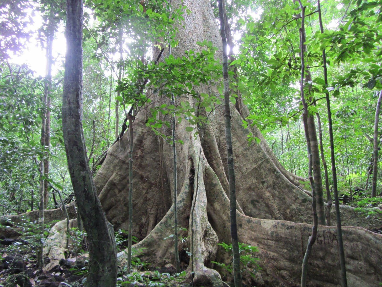 Khám phá gốc tùng khôngtr lồ tại Vườn Quốc Gia Nam Cát Tiên