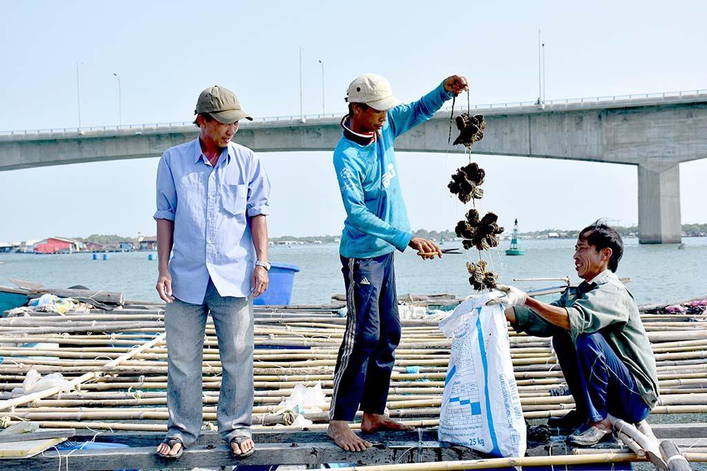 Thu hoạch Hàu tại làng bè Long Sơn